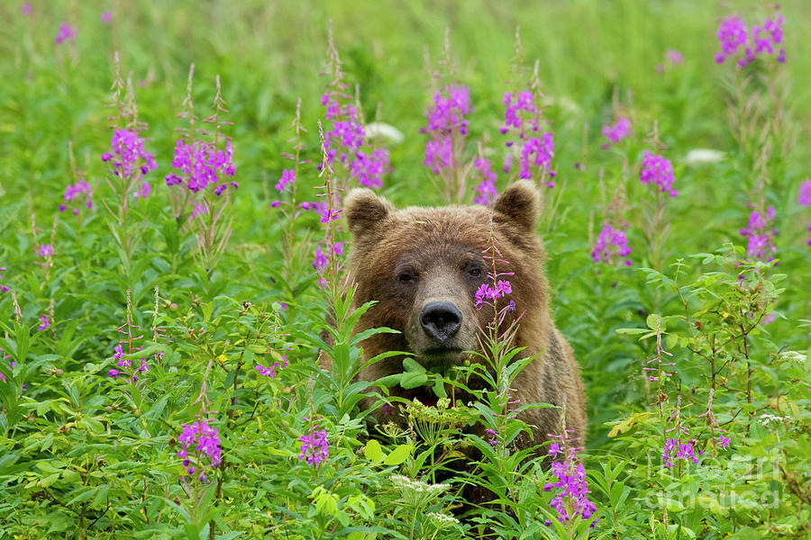 Grizzly in Fireweed Field by John Hyde
