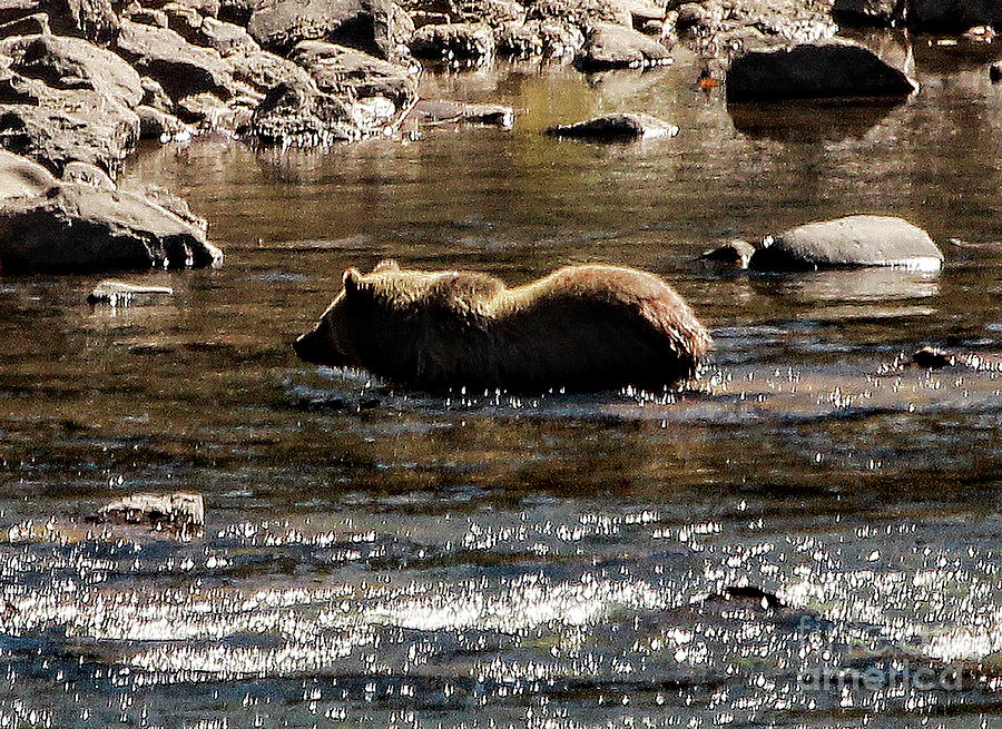 Grizzly Streaming by Frank Vargo