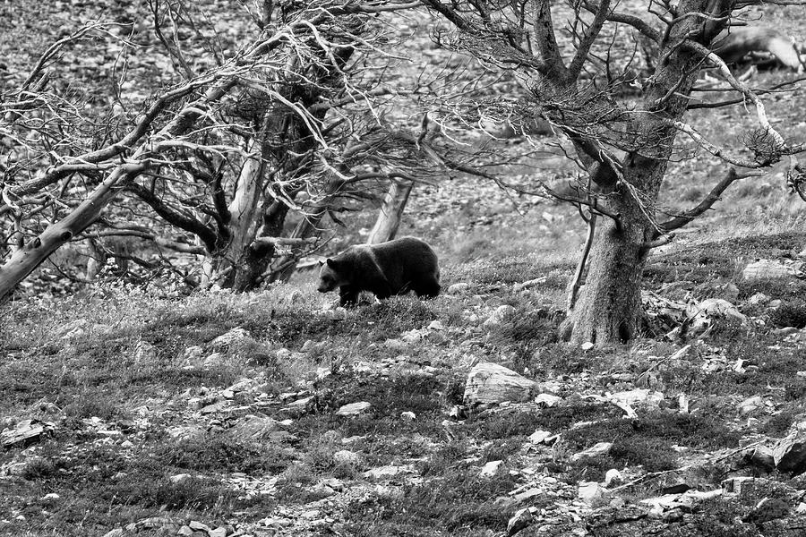 Glacier National Park Photograph - Grizzly Walking Through Dead Trees - Black And White by Mark Kiver