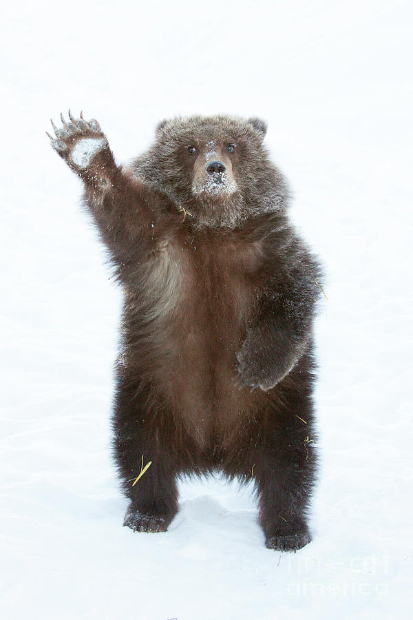 Grizzly waving by Doug Lindstrand