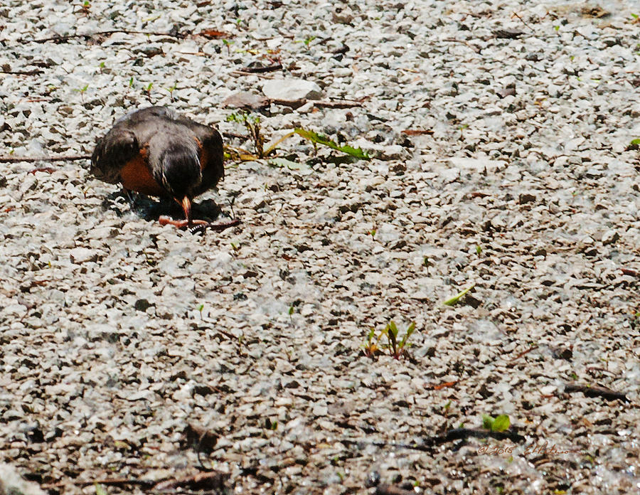 Robin Photograph - Grocery Shopping by Edward Peterson