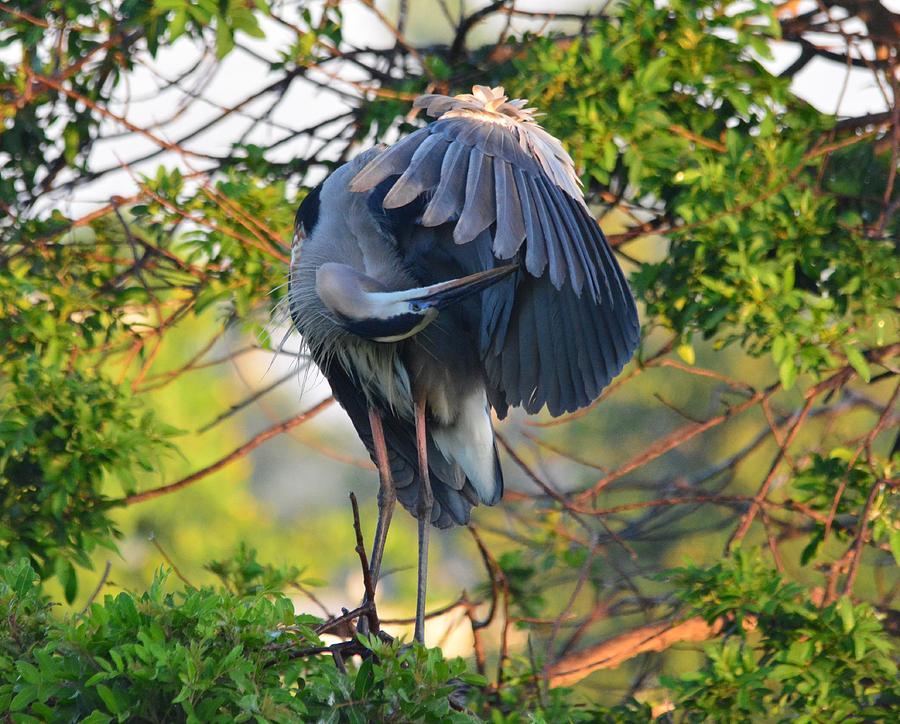Sunrise Photograph - Grooming Blue Heron by Patricia Twardzik