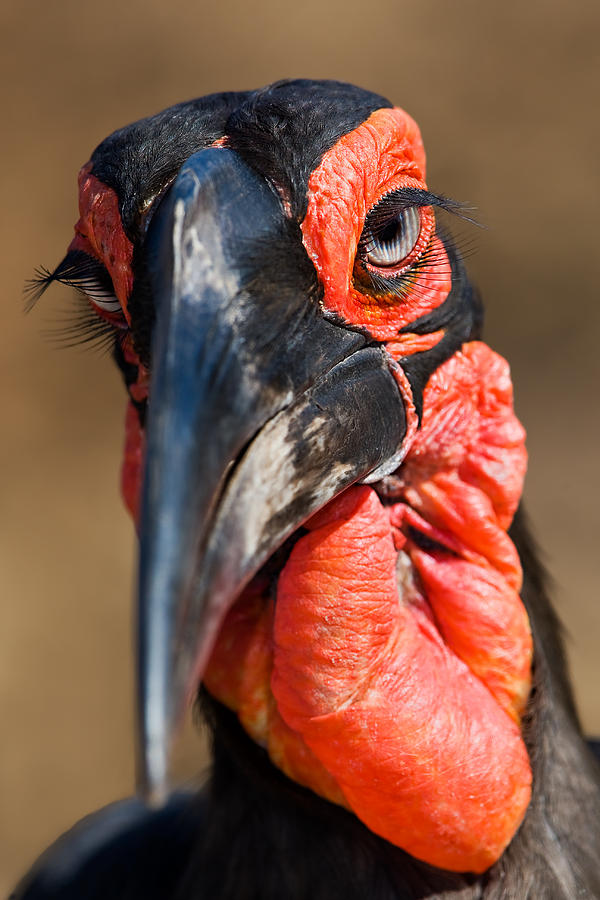 Bird Photograph - Ground Hornbill by Basie Van Zyl