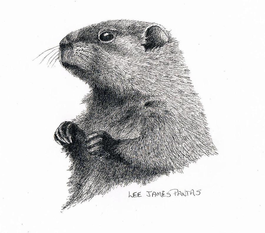 Woodchuck Drawing - Groundhog or Woodchuck by Lee Pantas
