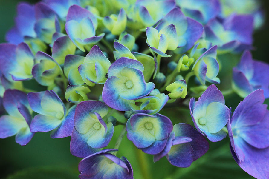 Hydrangea Photograph - Group Hug by Connie Handscomb