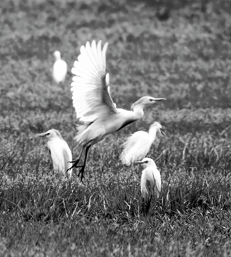 Cattle Egret Photograph - Group Hunt BW by Norman Johnson