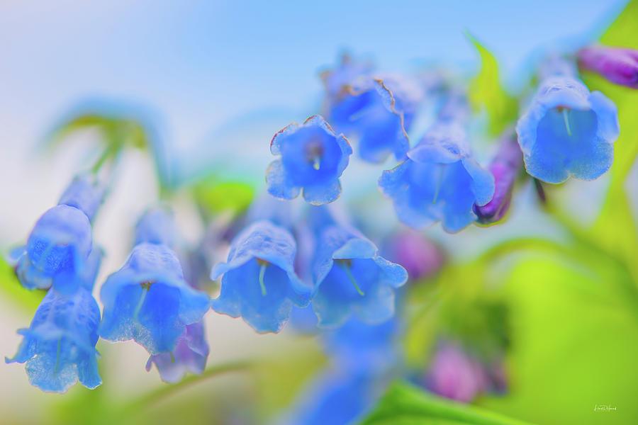 Nature Photograph - Group Of Idaho Bluebells by Leland D Howard