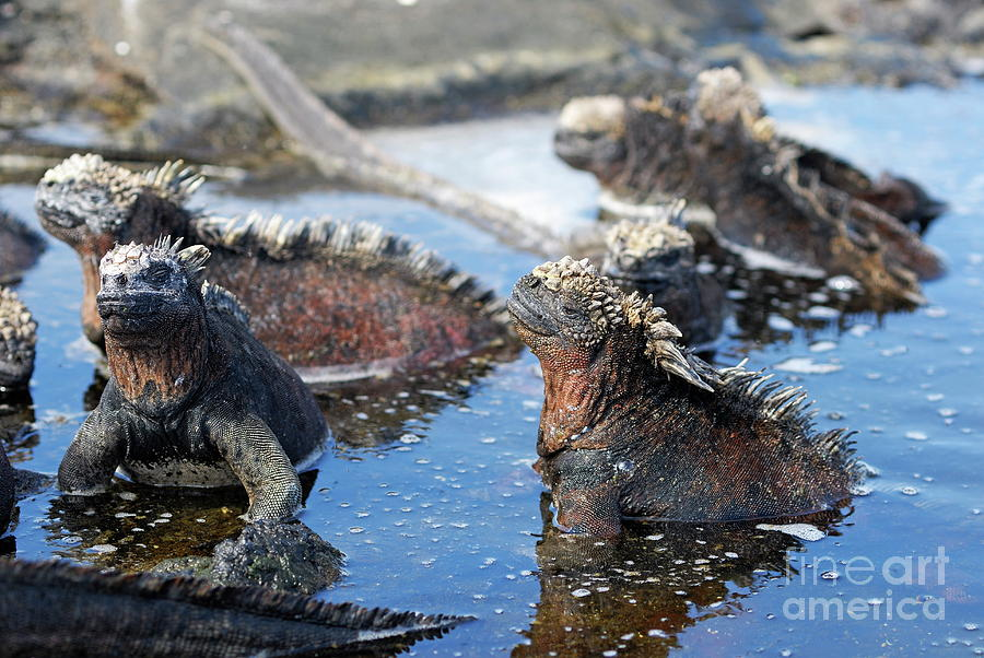 Absence Photograph - Group Of Marine Iguana by Sami Sarkis