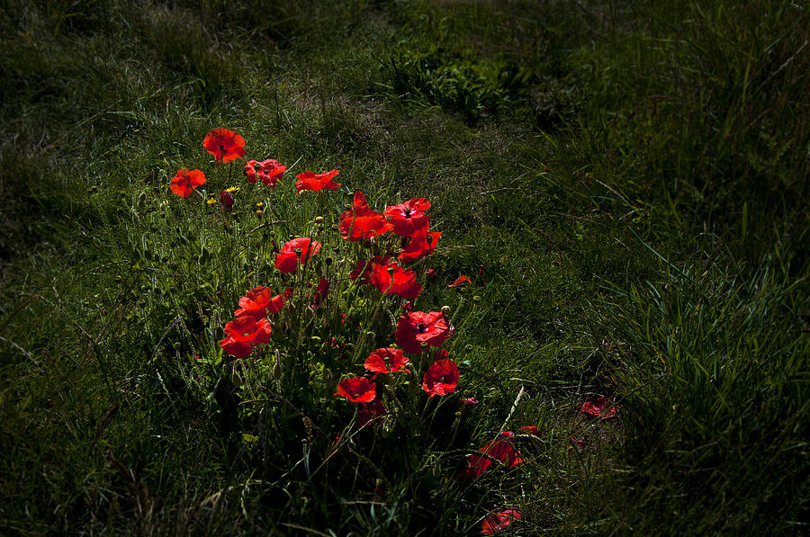 Flowres Photograph - Group Of Poppies by Svetlana Sewell
