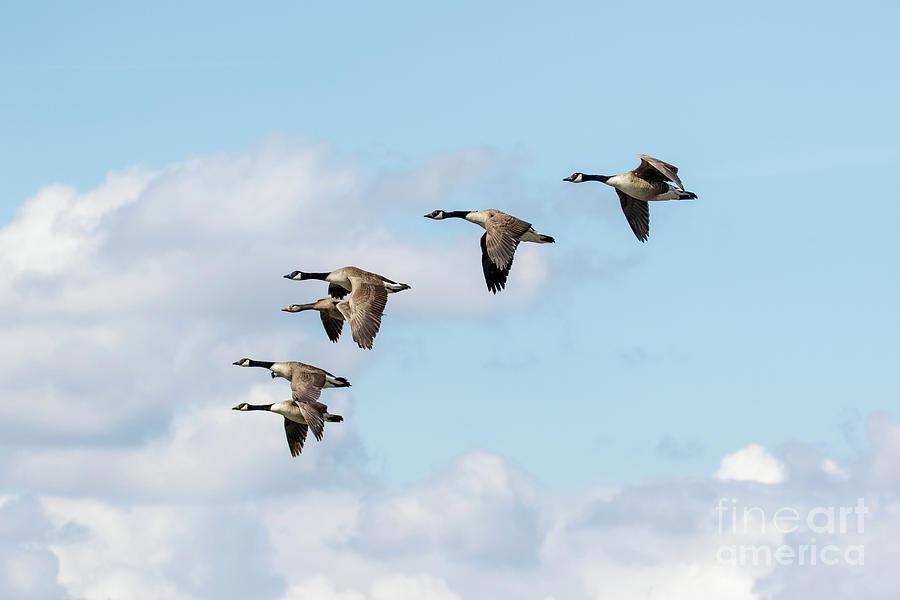 Branta Canadensis Photograph - Group or gaggle of Canada Geese - Branta canadensis - flying, in f by Paul Farnfield