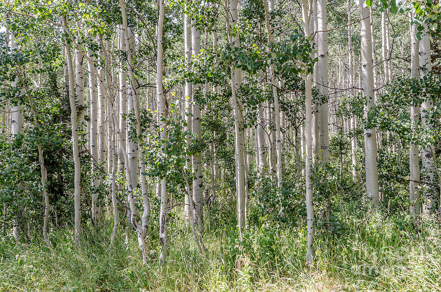Grove of Quaking Aspen AKA Quakies by Sue Smith