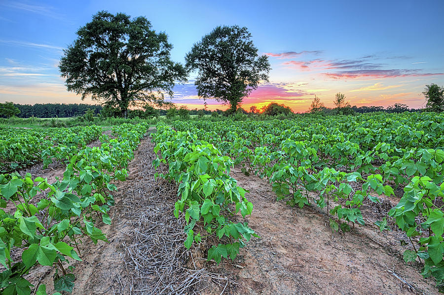 Covington County Photograph - Growing Cotton by JC Findley
