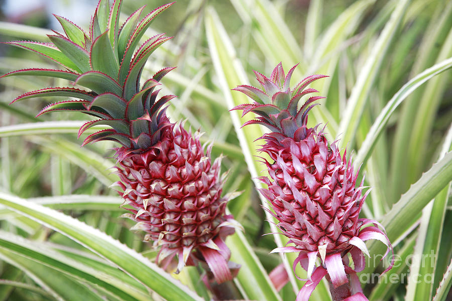 Agricultural Photograph - Growing Red Pineapples by Brandon Tabiolo - Printscapes