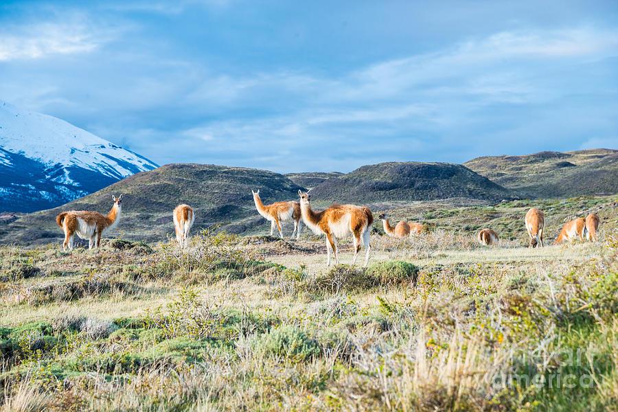 Guanaco In Patagonia Photograph by Jim DeLillo
