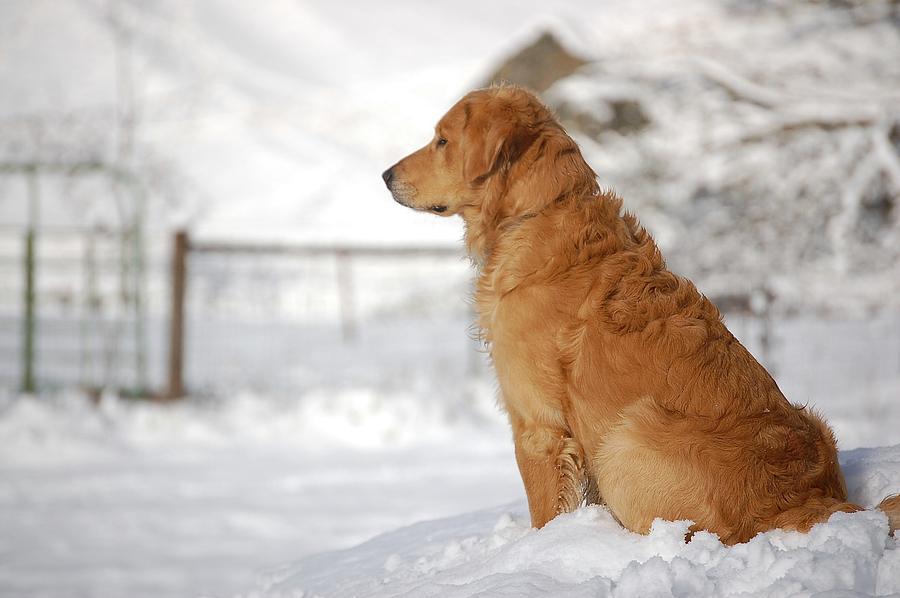 Golden Retriever Photograph - Guard by Laura Mountainspring