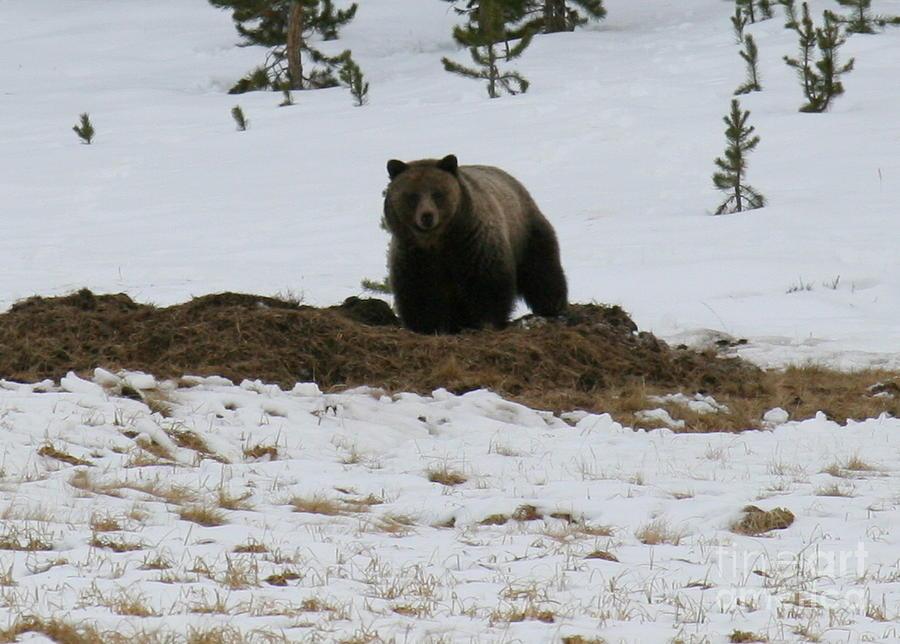 Brown Bear Photograph - Guarding Dinner by Robert Torkomian