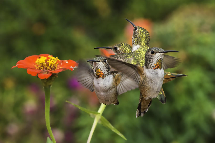 Hummingbirds Photograph - Guarding The Zinnia by Mike Herdering