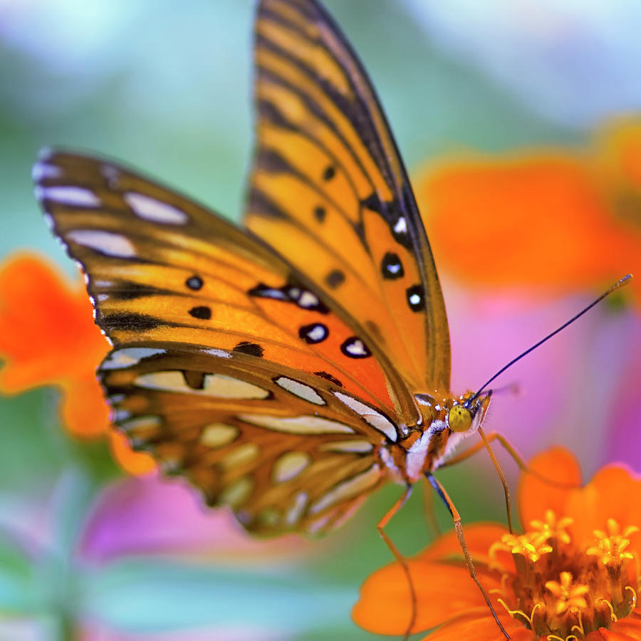 Square Photograph - Gulf Fliterary Butterfly by Joel Olives Photography