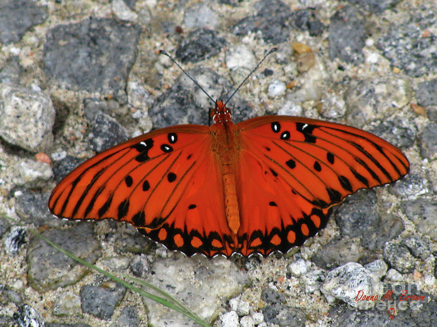 Butterfly Photograph - Gulf Fritillary by Donna Brown