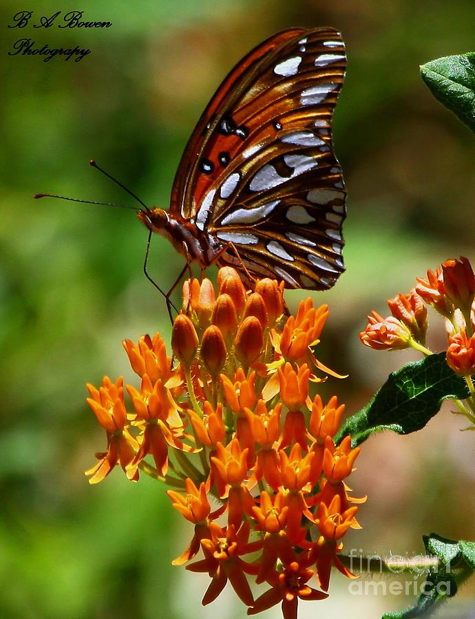 Gulf Fritillary Photograph - Gulf Fritillary On Butterflyweed by Barbara Bowen