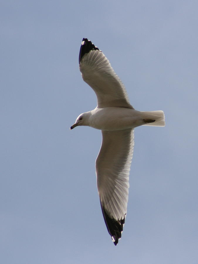 Bird Photograph - Gull 1 by David Dunham
