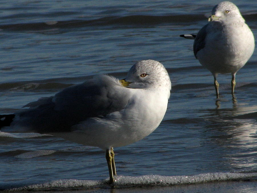 Wildlife Photograph - Gull At Rest by Charles Shedd