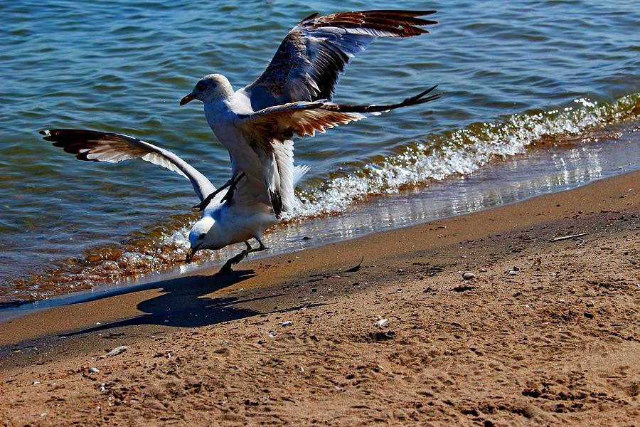 Bird Photograph - Gull Fight by Amanda Struz