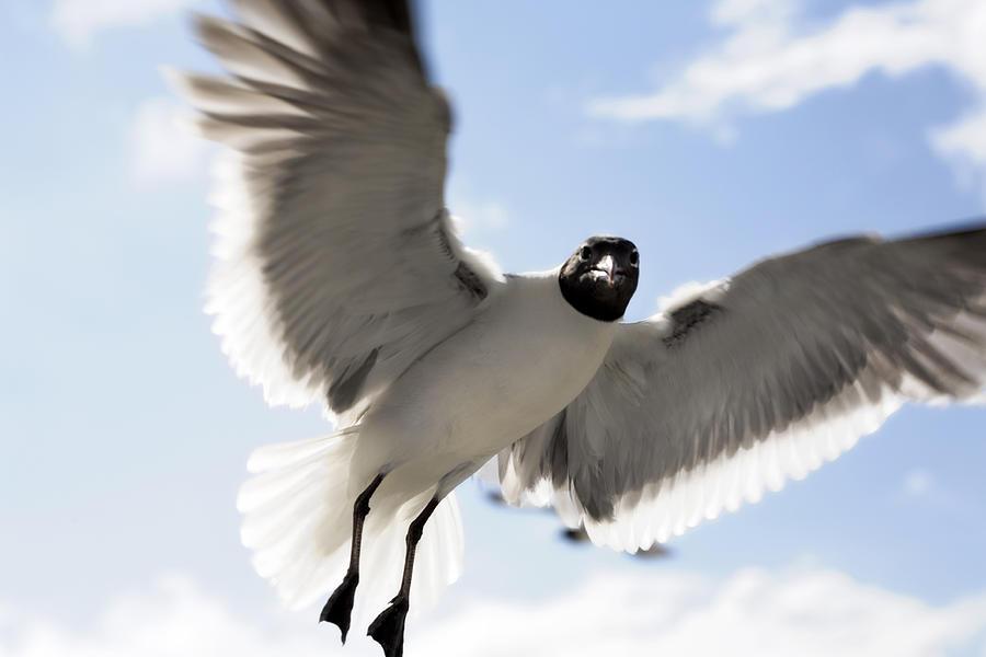 Gull In Flight Photograph