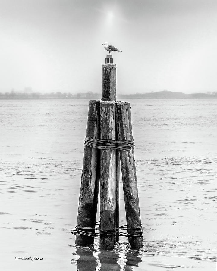 Gull In New York Harbor by Timothy Harris