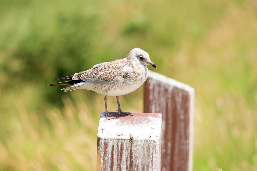 Sea Gull Photograph - Gull On A Post by Linda Kerkau