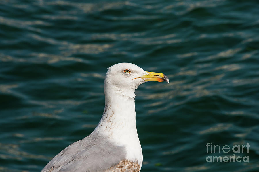 Princes Islands Photograph - Gull Profile by Bob Phillips