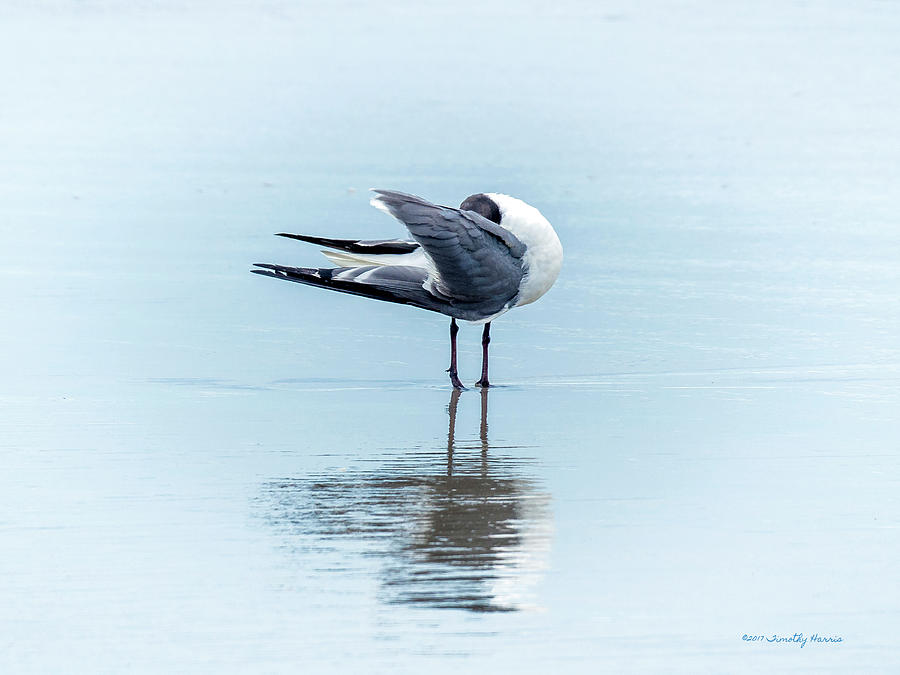 Gull Reflection by Timothy Harris
