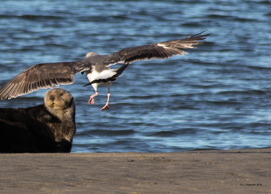 Gull with Sea Otter Photobomb by Lora Lee Chapman