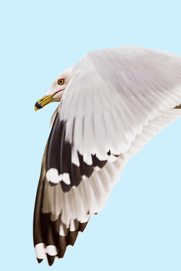 Gulls in Flight #5 of 7 by Kenneth F Konjevich