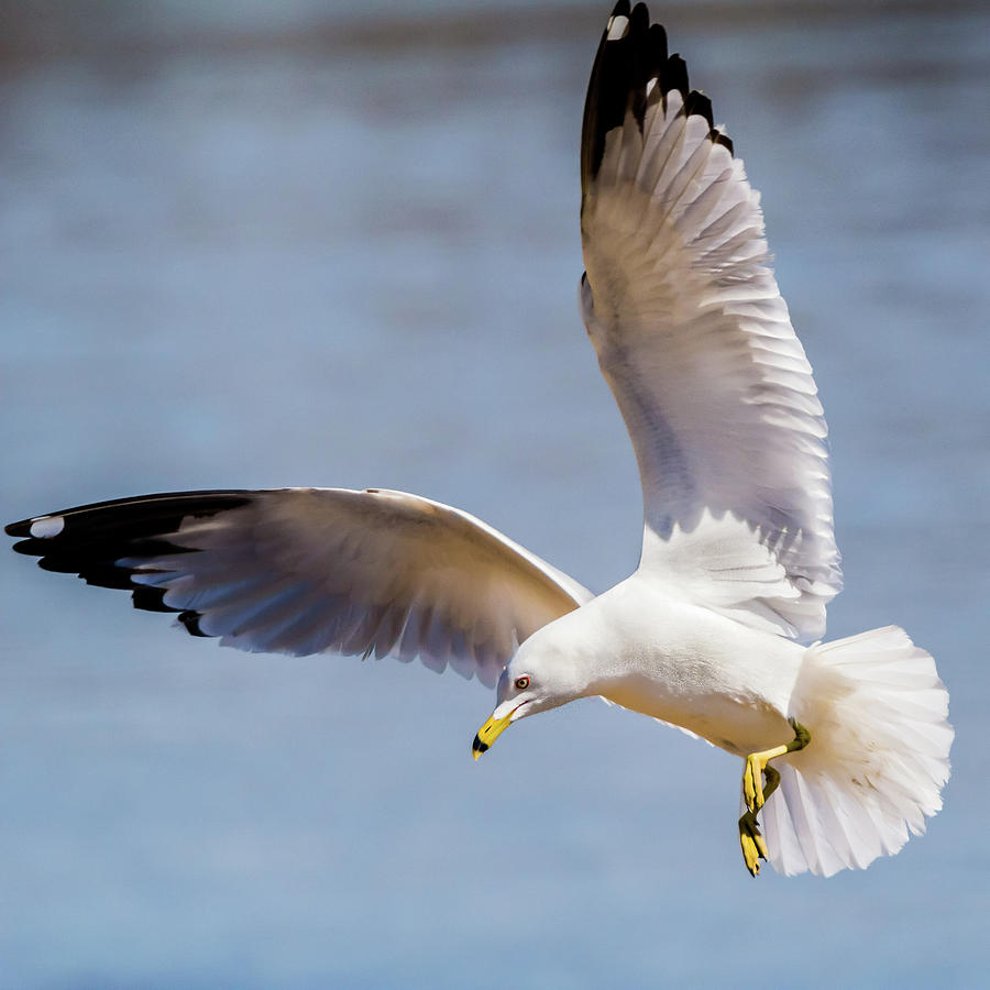Gulls in Flight Series #7 of 7 by Kenneth F Konjevich