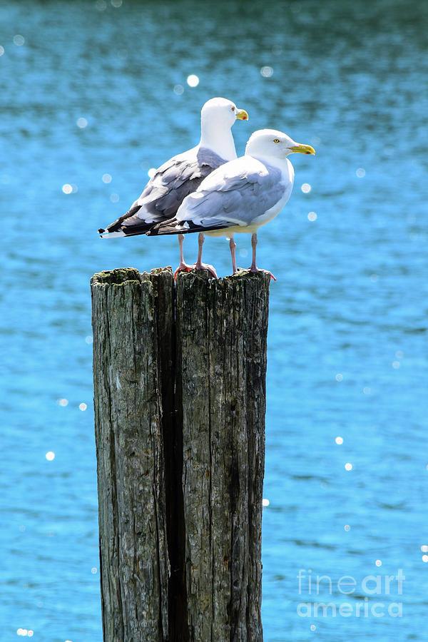 Seagull Photograph - Gulls On Piling by Charles Norkoli