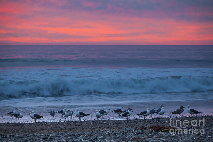Seagulls Photograph - Gulls With Pink Sky by Sharon Foelz