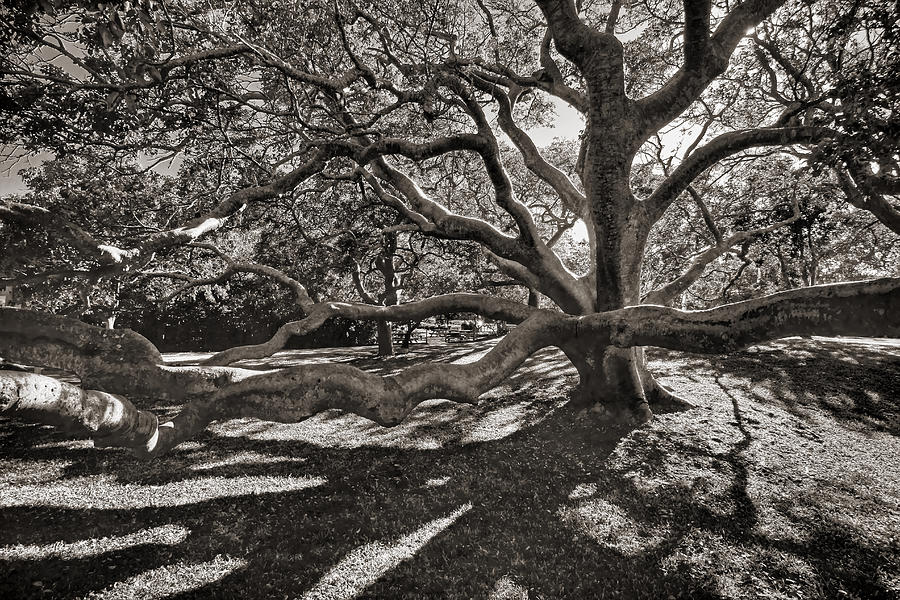 Trees Photograph - Gumbo Limbo by HH Photography of Florida