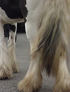 Horse Photograph - Gypsy Feathers- Carriage Horse by Connie Moses