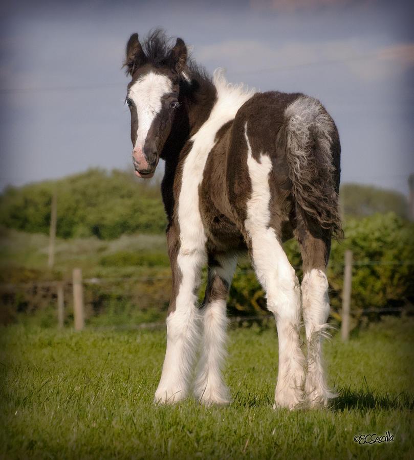 Gypsy Vanner Photograph - Gypsy Horse Foal by Elizabeth Sescilla