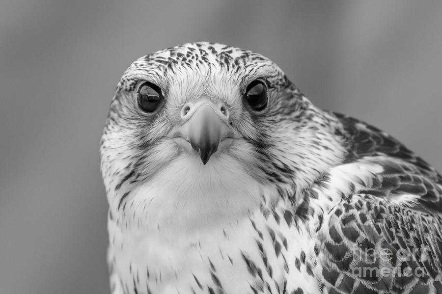 Gyr Falcon Photograph - Gyr Falcon portrait in black and white by Paul Farnfield