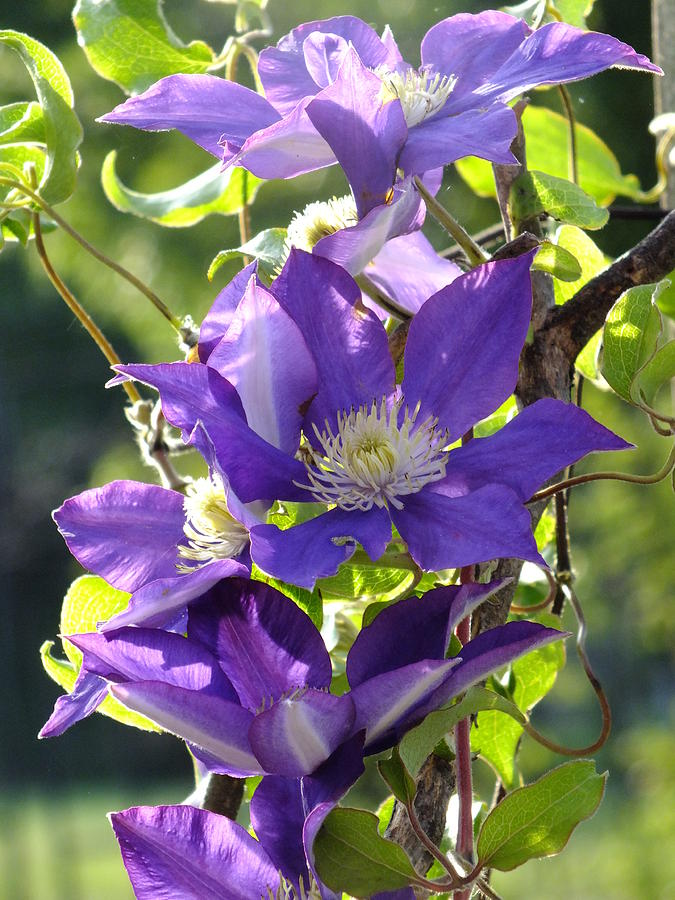 H. F. Young Clematis Photograph