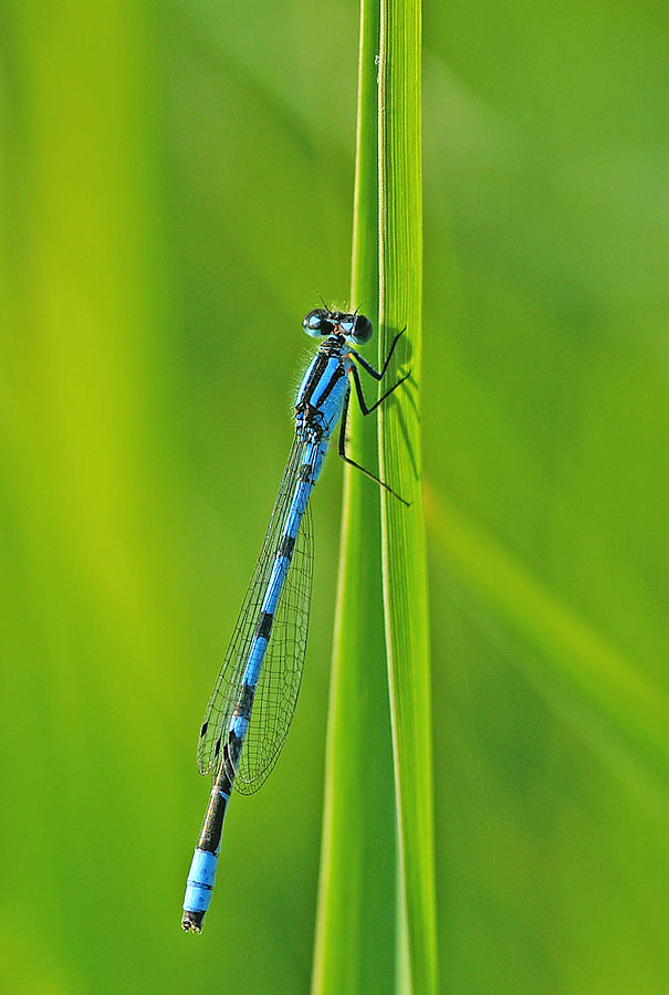 Damselfly Photograph - Hagens Bluet by Bill Morgenstern