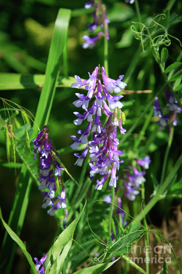 Hairy Vetch -  Vicia villosa by Richard Smith