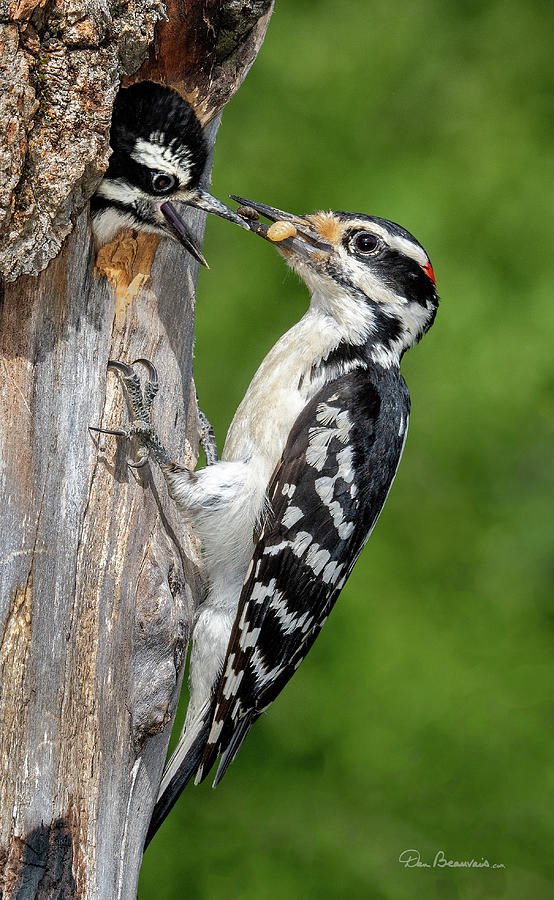 Hairy Woodpecker Feeding Chick 5011 Photograph