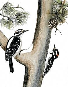 Scientific Illustration Painting - Hairy Woodpeckers by Gina Mikel