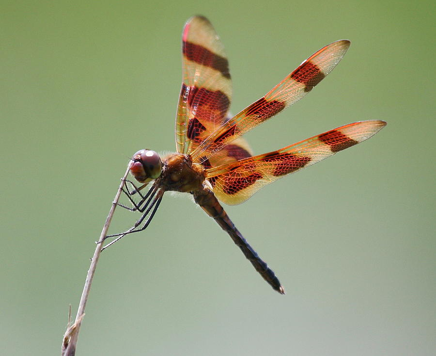 Wildlife Photograph - Halloween Pennant Dragonfly by Larry Federman