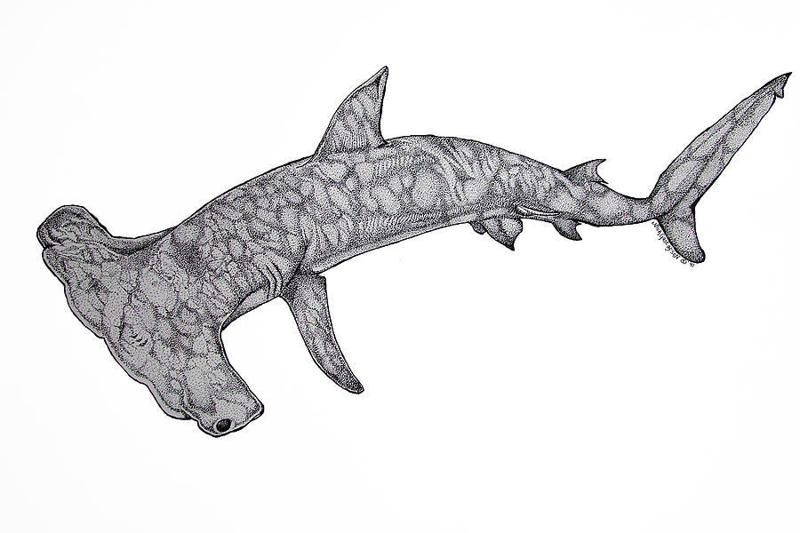 Shark Drawing Drawing - Hammer Head Shark by Nick Gustafson