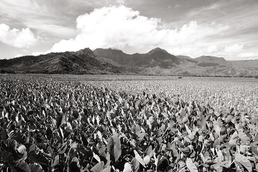 Afternoon Photograph - Hanalei Taro Fields by Bob Abraham - Printscapes