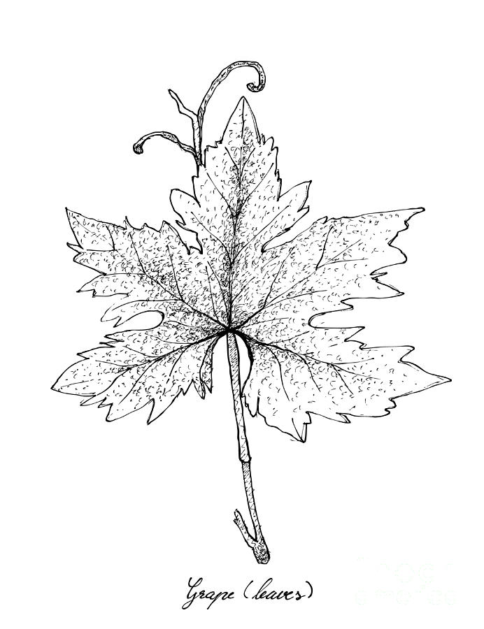 Hand Drawn Of Grape Leaf On White Background Drawing By Iam Nee